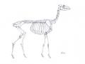 reh_skelett